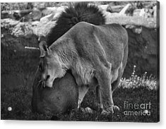Lion Hugs In Black And White Acrylic Print by Thomas Woolworth