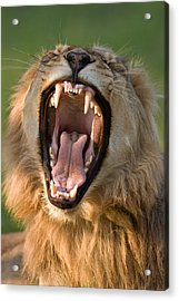 Lion Acrylic Print by Johan Swanepoel