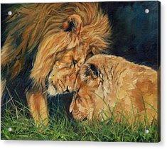 Lion  Love Acrylic Print by David Stribbling