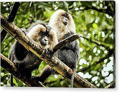 Lion-tailed Macaques Acrylic Print by Paul Williams
