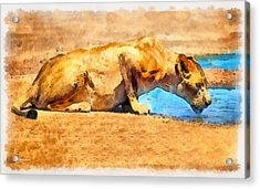 Lioness Drinking Acrylic Print by George Rossidis