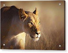 Lioness Portrait-1 Acrylic Print by Johan Swanepoel