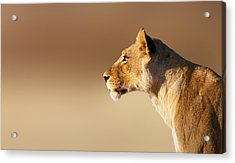 Lioness Portrait Acrylic Print by Johan Swanepoel