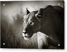 Lioness Stalking Acrylic Print by Johan Swanepoel