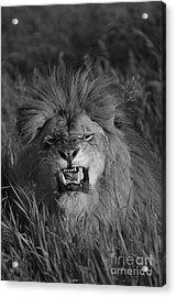 Lions Courage Acrylic Print by Wildlife Fine Art