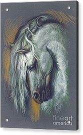 Lipizzan Horse Acrylic Print by Zorina Baldescu