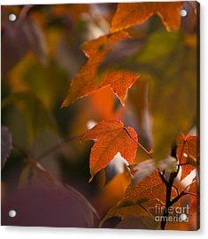 Liquidambar Autumn Acrylic Print by Anne Gilbert