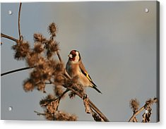 Litle Bird Acrylic Print by Dragomir Felix-bogdan