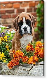 little Boxer Puppy in flowers Acrylic Print by Doreen Zorn