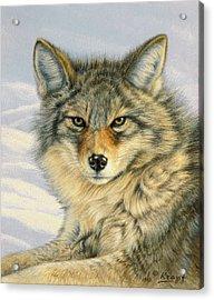 Little Coyote Acrylic Print by Paul Krapf