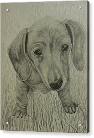 Little Dachshund Acrylic Print by Phillip Compton