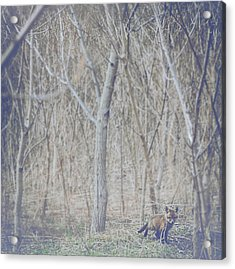 Little Fox In The Woods 2 Acrylic Print by Carrie Ann Grippo-Pike