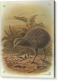 Little Spotted Kiwi Acrylic Print by J G Keulemans