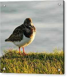 Little Turnstone Acrylic Print by Sharon Lisa Clarke