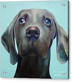 Little Weimaraner Looking Up Acrylic Print by Jennifer Gibson