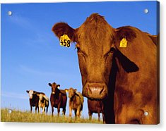 Livestock - Closeup Of A Red Angus Cow Acrylic Print by Sam Wirzba