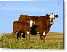 Livestock - Crossbred Cow And Calf Acrylic Print by Sam Wirzba