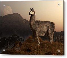 Llama Dawn Acrylic Print by Daniel Eskridge