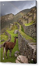 Llama Stands On Agricultural Terraces Acrylic Print by Jaynes Gallery