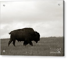 Lone Bison Acrylic Print by Olivier Le Queinec