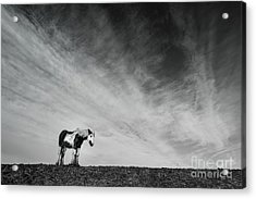 Lone Horse Acrylic Print by Julian Eales