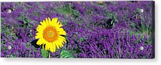 Lone Sunflower In Lavender Field France Acrylic Print by Panoramic Images