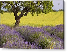 Lone Tree In Provence Acrylic Print by Brian Jannsen