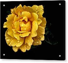 Lone Yellow Rose Acrylic Print by Stephanie Hollingsworth