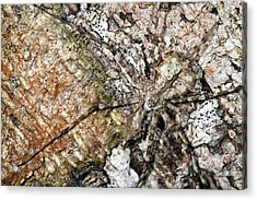 Long-spinnered Bark Spider Acrylic Print by Alex Hyde