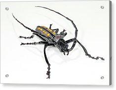 Longhorn Beetle Acrylic Print by Tomasz Litwin