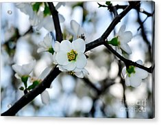 Looking Through The Blossoms Acrylic Print by Kaye Menner