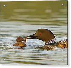 Loon Feeding Chick Acrylic Print by John Vose