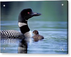 Loon With Chick #16 Acrylic Print by Jim Block