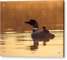 Loon With Chick At Dawn Acrylic Print by Jim Block
