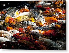 Lots Of Hungry Koi  Acrylic Print by Wilma  Birdwell