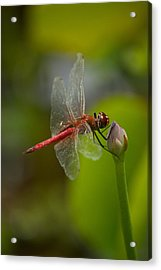 Lotus And Dragonfly Acrylic Print by Bonita Hensley