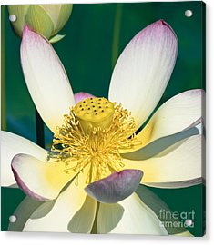 Lotus Blossom Acrylic Print by Heiko Koehrer-Wagner