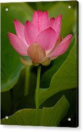 Lotus Light Acrylic Print by Bonita Hensley