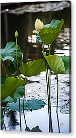 Lotuses In The Pond Acrylic Print by Jenny Rainbow