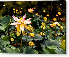 Lotuses Acrylic Print by Jon Woodhams