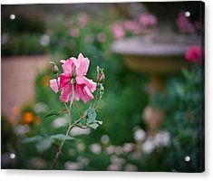 Lovely In Pink Acrylic Print by Linda Unger