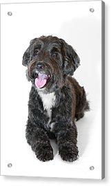 Lovely Long Haired Dog Acrylic Print by Natalie Kinnear