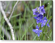 Low Larkspur In Yellowstone National Park Acrylic Print by Bruce Gourley