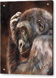 Lowland Gorilla Acrylic Print by David Stribbling