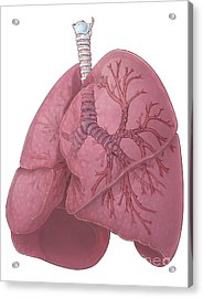 Lungs And Bronchi Acrylic Print by Evan Oto