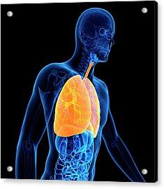 Lungs Acrylic Print by Sebastian Kaulitzki