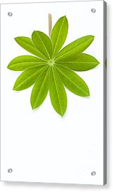 Lupin Leaf Acrylic Print by Anne Gilbert