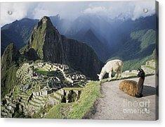 Machu Picchu And Llamas Acrylic Print by James Brunker