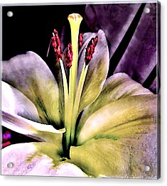Macro Luminous Lily  Acrylic Print by Danielle  Parent