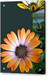 Macro Orange And Yellow Daisies With Water Droplets Acrylic Print by Danielle  Parent